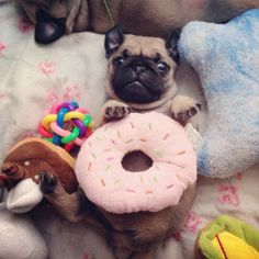 Baby pug with so many toys!
