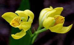 """Cephalanthera falcata has bright yellow flowers, hence its Japanese name which means """"golden orchid""""."""