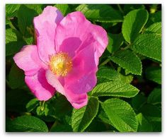 Rosa Rugosa Rose Hedge - hundreds of roses in June then reblooms intermittently until frost.  Grows 6' high & forms a dense shrub that human nor animal can't penetrate.  Little or no pruning.  Each flower turns into an attractive orange-red Rose Hip.  Full - partial sun.  Zones 2 - 8.