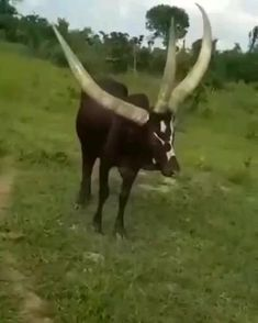 Three-horned bull found in Uganda - - Unusual Animals, Rare Animals, Animals And Pets, Whitetail Deer Pictures, Wildlife Protection, Cut Animals, Cute Animal Videos, Funny Cat Videos, Cute Funny Animals