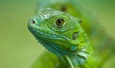Young Iguana | Wildlife photography: the best of myWanderlust | Wanderlust