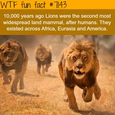 Lions were the most widespread land mammals , second to humans - WTF fun facts