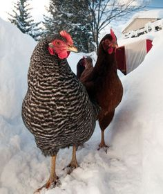 HOW COLD IS TOOOO COLD????   check out site... Chickens can handle very cold temperatures. Some experts say chickens don't really start suffering until the temperature inside their coop falls to minus