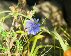 """Check out new work on my @Behance portfolio: """"Blue Chicory & Dandelion Photography 2015"""" http://be.net/gallery/31199533/Blue-Chicory-Dandelion-Photography-2015"""