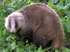 The Japanese Badger (Meles anakuma) is a species of Mustelid native to most of Japan, found in a variety of woodland and forest habitats. Unlike other badgers, Japanese badgers do not form social clans and mates don't form pair bonds.