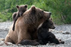 Cute Bears Cuddling   mother brown bear cuddling up with her two cubs next to a river.