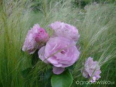 Ogród prawie romantyczny - strona 562 - Forum ogrodnicze - Ogrodowisko