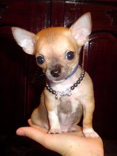 chihuahua- if anyone wants to get me one for graduation or as a Christmas gift your more than welcome to! :)
