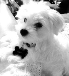maltese puppy named LOki Cute Puppies, Cute Dogs, Dogs And Puppies, Doggies, Puppies Tips, Westies, Shih Tzu, Maltese Dogs, Teacup Maltese