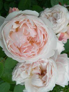 'St. Swithun.'   Shrub. English Rose Collection. Bred by David C. H. Austin (United Kingdom, 1993)