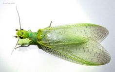 a green dobsonfly from sarahan, himachal pradesh india. Cool Bugs, Fish Food, Wild Life, Spiders, Fish Recipes, Fly Fishing, Cool Stuff, Green, Insects