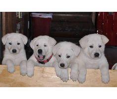 white german shepherd puppies 10