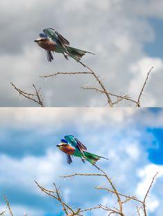 Vorher-Nachher-Bild vom Lilac Breasted Roller Vogel im Serengeti Nationalpark. Auch für Fotos die mit einer DSLR-Kamera geschossen wurden, ist eine #Nachbearbeitung der Bilder sinnvoll, um das Optimum herauszuholen! Weitere Vorteie der #DSLR Kamera findet ihr hier: http://www.fotos-fuers-leben.ch/fototechnik/kameraeinstellungen/mein-weg-zur-dslr-kamera/