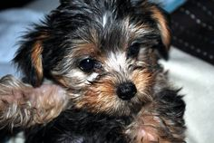 yorkie puppies yorkshire terriers toy yorky's yorkies for sale