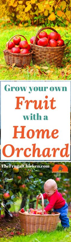 grow fruit in your backyard - with dwarf fruit trees! Here's how to plant an orchard that will give you food for years!You CAN grow fruit in your backyard - with dwarf fruit trees! Here's how to plant an orchard that will give you food for years! Dwarf Fruit Trees, Growing Fruit Trees, Potted Trees, Trees To Plant, Raising Backyard Chickens, New Fruit, Fruit Garden, Plantation, Backyard Landscaping