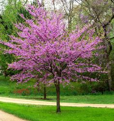 Cercis canadensis - Eastern Redbud Eastern Redbud is an outstanding small tree, both for eyepopping color in spring and low maintenance. Most of the year it's dense with heart shaped leaves. In early spring, clusters of magenta blossom Trees For Front Yard, Small Front Yard Landscaping, Backyard Landscaping, Landscaping Ideas, Front Yards, Backyard Patio, Dwarf Trees For Landscaping, Landscaping Borders, Luxury Landscaping