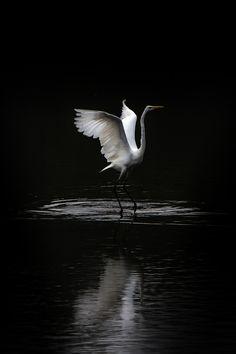 Waterballet Fotograaf: lensflare Zilverreiger