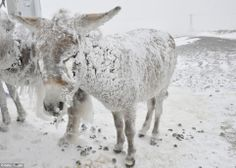 Beast of burden: Ice covered stray donkeys stand outside in cold weather in Karlik village of Karacadag region located in Siverek district of Turkey's Sanliurfa province in Southeastern Anatolia region