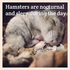 Hamsters are nocturnal and sleep during the day