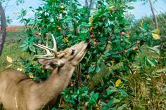Hunting like a Boss: 3 ways to attract deer fast