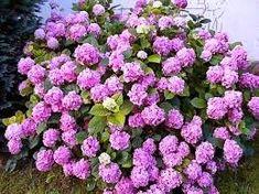 """Képtalálat a következőre: """"annabella hortenzia"""" Plants, Plant, Planets"""