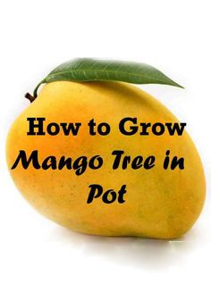 Growing Mango Tree in Pot - Sweet and spicy in flavor, mangoes are also called as 'King of Fruits'. Mango trees are large and take lot of space to grow in tropi…