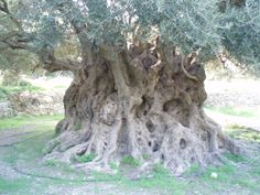 Ancient olive tree near Kavousi, Crete - reputed to be 3,500 years old