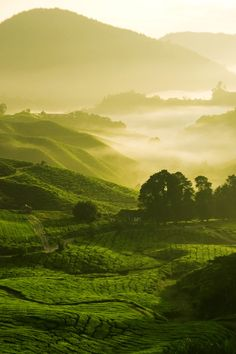 """China tea fields   Chinese tea fields http://www.interactchina.com/home-furnishings/#.VSiZ2_mUfYA"""