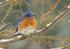Bluebird in the winter snow