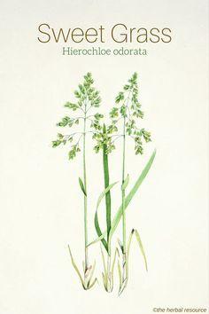 Sweet Grass Hierochloe odorata More