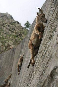 Le bouquetin des Alpes - Spécialité un grimpeur tout-terrain