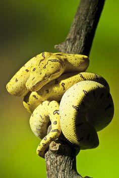 2010 Aru Locale Green Tree Python by -craigulator-