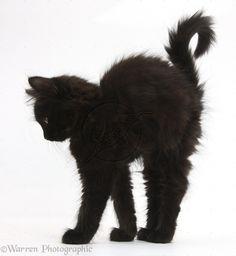 fluffy black kittens - Google Search