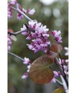 Forest Pansy Redbud (Cercis canadensis 'Forest Pansy') - Monrovia - Forest Pansy Redbud (Cercis canadensis 'Forest Pansy')
