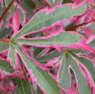 Acer palmatum Marlo (PBR)