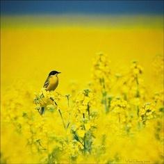 Yellow bird.
