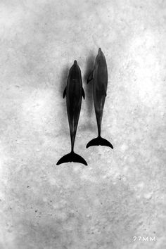 Dolphins in the Red Sea. www.27MM.net
