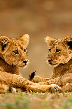 Twin Lion Cubs.   (Photo By: Marsel van Oosten on 500px.)