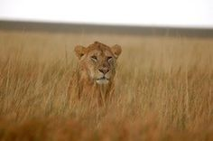 I would like to see big cats in the wild someday.just not running for my life