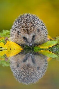 reflet de petit hérisson adorable... Adorable hedgehog waterfront