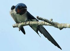 Red chrsted swallow