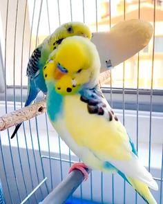 Love Birds Pet, Best Pet Birds, Cute Birds, Pretty Birds, Most Beautiful Animals, Beautiful Birds, Beautiful Pictures, Funny Parrots, Funny Birds