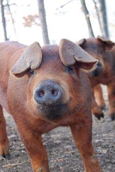 Close up of a Piggy!