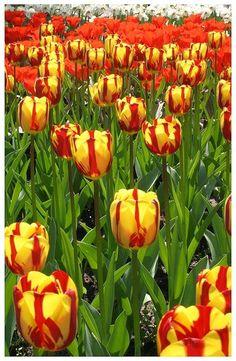 Ocean of tulips