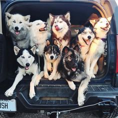 "48 Likes, 6 Comments - HerculesHuskies (@herculeshuskies) on Instagram: ""Squad goals ✋♥️ @fluffyhuskytales repost from @fluffyhuskytales this picture made my day!…"""