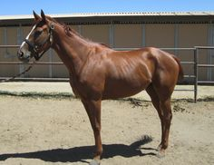 Awesome is 5 year old thoroughbred mare, 16.1 hand. She is shy, sweet, athletic and has lots of heart. Nice mover, would be a great three day eventer or jumper/trail. Only track broke, needs to be finished. Good with other animals, quiet when hauling, good ground manners and loves to work. Retired sound from the race track. Awesome will only be adopted to a experienced person as she needs further training. E-mail: unitedpegasus@yahoo.com