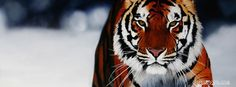 stunning tiger playing in snow wildlife tourist photograph holiday location snow sports hunting facebook timeline profile cover