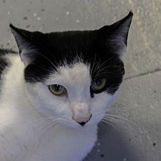 ***10/12/17- Athena a Domestic Shorthair for adoption at Morgan County Humane Society, Martinsville, IN who needs a loving home. This kitty is spayed, has shots up to date, and is about 10 months old