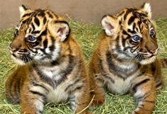 Baby tigers at San Diego Safari Park. Worth the trip!!!
