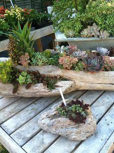 succulent in wood log